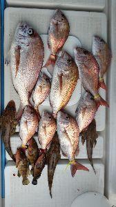 瀬戸内で釣り三昧 10/14 中潮  地元の地方祭もあるので、お祭り用のお魚捕りに♪ 4人での釣果だけど、イイのか悪い
