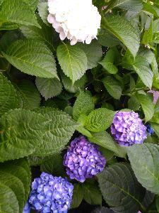いちご大好き♪ 近所の紫陽花