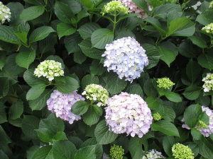 いちご大好き♪ 東京も紫陽花咲きました