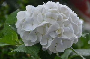 いちご大好き♪ おはよう! 月光地方は今日は朝から雨です! 雨に似合う花、やっぱり紫陽花だね(^-^;