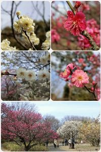 がんばっ♪ だいぶ、春っぽくなって来たね と言うことで、梅の花。  まだ、咲き始めって感じかな