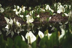 花、山野草、湿原植物、高山植物、尾瀬が大好きです 尾瀬のミズバショウは比較的流れの強い小川の畔や、木道の根元に生えることが多く なかなかゆったりとして