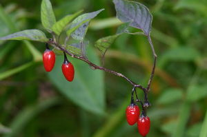 花、山野草、湿原植物、高山植物、尾瀬が大好きです 真っ赤な実だけをみるとナスの仲間とは分からないオオマルバノホロシです。  花の宝庫:尾瀬でもそれほど