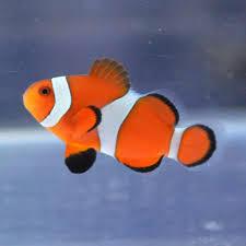 φ(・ω・ ) 【カクレクマノミ】  次は「み」以外。   熱帯魚の一種です。