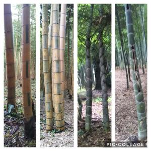 株・夢 & 日常会話、いろいろ 土曜日にでしたが、栃木県の竹林農園に行って来ました。 孟宗竹や真竹の竹林は元より、黄金色で緑色が市松