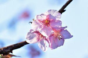 株・夢 & 日常会話、いろいろ みなさん こんばんは  河津桜が2~3分咲になりました コロナの流行で暗い世相ですが 今年も「美しく
