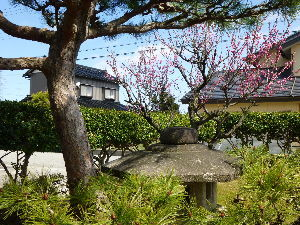 拙者の ぐたぐた 独り言 お早うございます! 我が家の梅の花が見頃を迎えました。  今朝ラインで頼んだら、次男がスノータイヤを