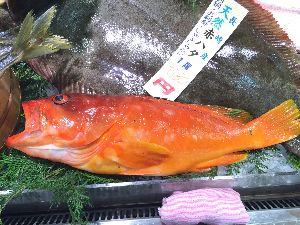 福岡 魚釣りのおはなし。 沖に出た時はいつも もう少し大きいのが 釣れて美味しく いただいとりましたが、こんな高級魚とは知りま