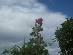 クリスマスローズ こんばんは。 心配することもない台風でしたが、いかがでしたか?  一本の薔薇をつみ忘れ 風ですこし花