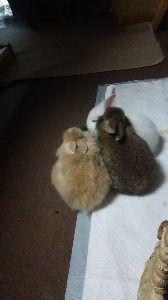 ウサギにメロメロ☆ どんどん成長してますよ、早すぎて戸惑うくらい。 私としては、あまり早く成長しないで可愛い姿を長く見せ