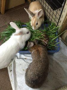ウサギにメロメロ☆ 親と同じ大きさになって、発情期真っただ中新聞紙は破るし、お腹の毛は抜くしどうしようもない。