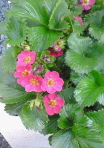 笑いたい!! 昨年 植えた苺ちゃん・・・なぜか 花は一杯咲くのに、実がとても貧弱です。 もしかしたら、花を愛でるた