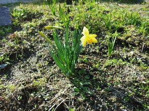 ☆ 日記 ☆ 庭に咲いた花  まだ寒いので 少しだけ  ラッパ水仙が 風に揺れていました。
