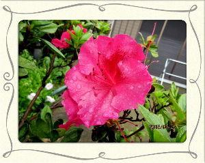のんびり暇潰しでもしようかな・・・・・・ 昨夜大分降ったようで庭の花がお辞儀を・・・  先ほどからやっと明るくなり陽射しが・・・  気温も上が