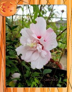 のんびり暇潰しでもしようかな・・・・・・ 今朝も心地よい風が吹き抜ける秋の日和に・・・  庭の花も早起きで気持ちがいいね・・・  夕顔は昨夜の