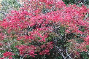 最高の生き方 先程の紅葉ですが、右上方を少し引きつけて撮って見ました。 老木にて骨が目立ちますが、視点を変え、此処