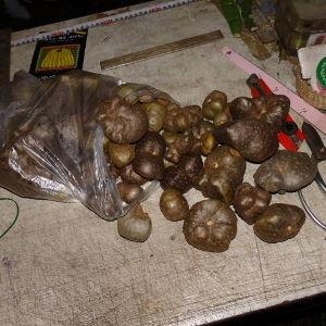 ダイジョ(沖縄山芋)普及研究会 宇宙芋も収穫しました^^  これは採れても食べないと思うので 全く悪条件の場所に植えたのですが 丈夫