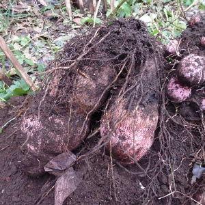 ダイジョ(沖縄山芋)普及研究会 去年はすぐに洗って腐ったものが出ましたので、 2~3日はこのまま置いて、 皮が固まってから洗って保存