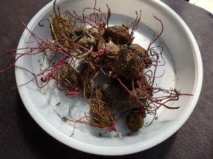 ダイジョ(沖縄山芋)普及研究会 奄美大島の山芋 コウシャマン のムカゴ 80グラムを植えました^^:
