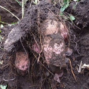 ダイジョ(沖縄山芋)普及研究会 左の黒いのが種芋