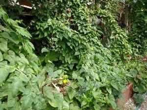 ダイジョ(沖縄山芋)普及研究会 ヤマイモですが花壇に植えて グリーンカーテンにしてボロ隠しです^^: