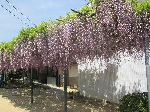 始めてみようよ、今から。 昨日の日曜日は快晴 気温も高くて休日にはふさわしい休日であった!  アラレちゃんと一緒に藤の花を観賞