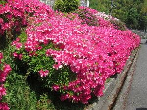 始めてみようよ、今から。 藤の帰りにツツジの見学見事に咲き乱れ花びらも大きく感じた!  アラレちゃんも携帯でカシャカシャと何枚