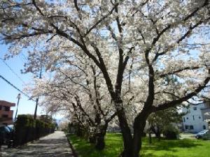 YY倶楽部 こんにちは。 家の近くの桜が満開です。