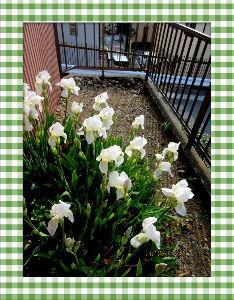 高齢者の暇つぶしはグランドゴルフとアユ釣りで・・・・ 爽やかな風吹く五月の陽気に・・・・  セーターもベストも不要な程の暖かさ・・・  庭の花も賑やかで明