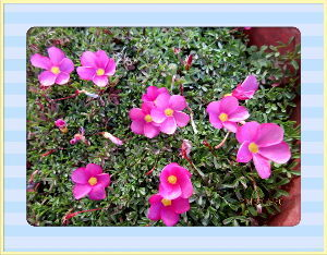 高齢者の暇つぶしはグランドゴルフとアユ釣りで・・・・ 朝から陽射しが強く日中はポカポカ陽気に・・・  庭の花も暖かな陽射しに大喜び・・・  久しぶりにオキ
