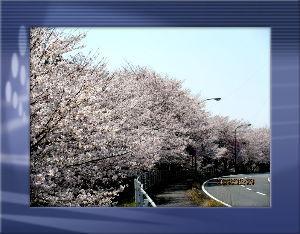 高齢者の暇つぶしはグランドゴルフとアユ釣りで・・・・  陽射しの強い暖かなお花見日和に・・・  風もなく穏やかですが満開桜がチラリホラリ・・・  今日が丁