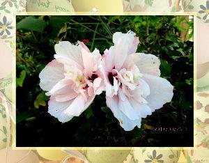 高齢者の暇つぶしはグランドゴルフとアユ釣りで・・・・ 青空広がりさわやかな秋空だね・・・  心地よい風も吹き抜けて庭の花も気持ち良さそう・・・  昨日アユ