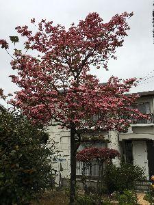 ♪嬉しい♪ 今日の散歩、薄曇り 公園の桜も散り、躑躅が開き始めて、 何となく心もウキウキ気持ちも穏やかになります