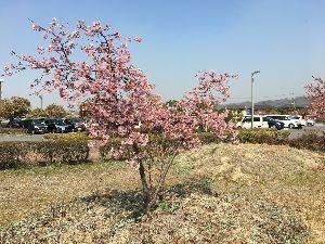 ♪嬉しい♪ 春ですね〜〜 河津さくらが満開、 今日は暖かいです、