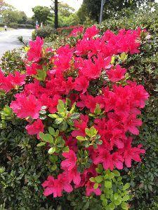 ♪嬉しい♪ 公園の桜🌸も最後の染井吉野が咲き残ってました、 そして、早咲きのツツジが咲き始めています。 赤い姫ツ