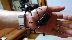 08年12月2人目出産予定36歳です あっと言う間に夏休みも終わり~~ カブトムシを飼い始めて3年目。  今年は8匹の幼虫のうち1匹は羽化
