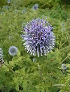 ♪歌謡全盛時代を振り返って! るりたまあざみ  おもしろい形の花。  夏、とんがった状態から  少しずつ開花する。 ・葉っぱは名前