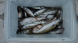 2014 木更津沖のアジの季節がやってきました!  東京・神奈川のみなさん!アクアラインで来てね! 釣って楽しく、食べておいしい!アジは最高です! ぜひきてください!  8月8日(金)のアジ・イシモチ