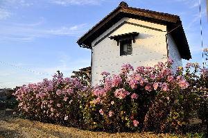 花と共に・・・ 菊の中の蔵、