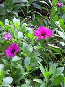 花と共に・・・ オステオスペルマム お気に入りの花なのですけど越冬出来ません~