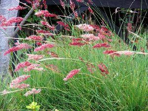 花と共に・・・ 宿根草と思って植えたのですけど一年で枯れてしまいました~ 耐寒温度が-6℃までだったそうです (当地