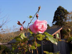 花と共に・・・ このバラは横浜から一緒に越してきた 春から秋まで断続的に咲いている優等生