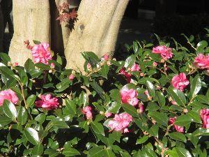 花と共に・・・ ピンクのサザンカ(山茶花)も咲き始めてきました~  もうすぐ師走になりますネ 月日の移ろい・・・身に