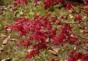 花と共に・・・ 最期の紅葉