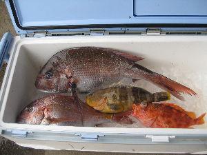 鯛ラバ 真鯛60、43、センチ、アオナ、40センチ、アラカブ38センチのみ