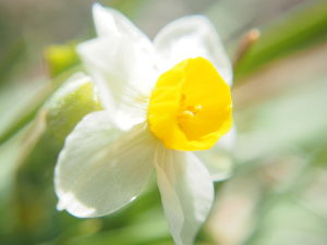 かわいい草花とアンティーク 水仙も。