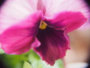 かわいい草花とアンティーク これはパンジーですが、どちらかと言うとビオラのほうが好きですね。