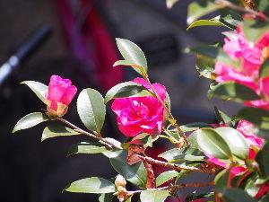かわいい草花とアンティーク お隣りの椿の花。 今、満開状態。 借景として楽しませてもらってます。