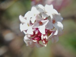 かわいい草花とアンティーク 今、沈丁花がきれいに咲いています。