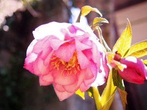 かわいい草花とアンティーク 八重咲クリスマスローズ。